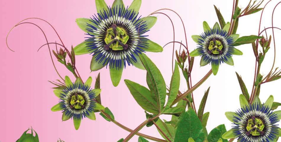 Eau florale, hydrolat, huile essentielle, Les Happyuriennes vous explique