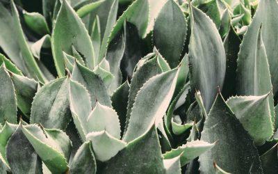 L'aloe vera, une merveilleuse plante au pouvoir hydratant pour la peau