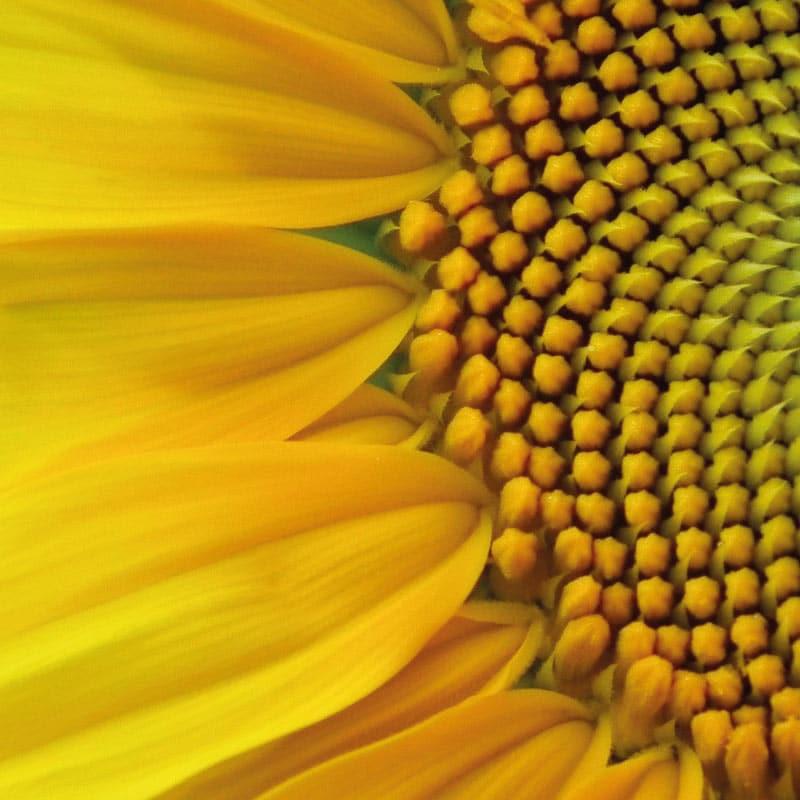 Huile tournesol oleique biologique dans notre dans notre ligne de soins bio et vegan