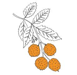 Arbousier, plante issue de notre cosmétique bio France, Les Happycuriennes